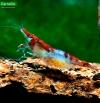 Red Rili Shrimp - Neocaridina heteropoda