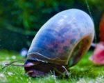 blaue Posthornschnecke
