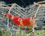 Crystal Red Garnelen