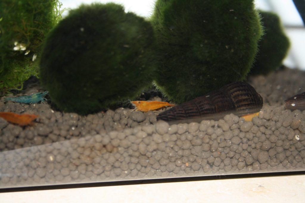 Ein Aquarium für Garnelen einrichten
