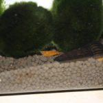 Das Garnelenaquarium