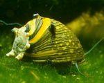 Geweihschnecken – Blickfang fürs Garnelenaquarium