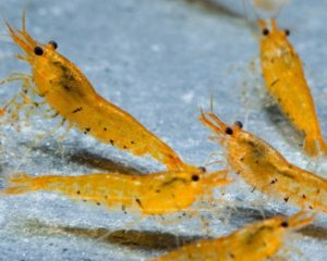Golden Tiger Shrimp Zucht