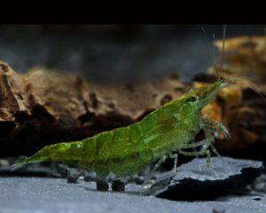 Green Jade Garnele Aquarium