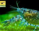 Knabenkrebs – Cambarellus puer