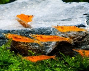 Mandarinengarnele Zucht