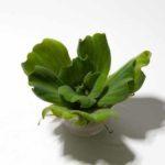 Muschelblume – eine Schwimmpflanze fürs Garnelenaquarium mit Vor- und Nachteilen