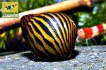 Rennschnecke – Artenvielfalt und unkomplizierte Haltung