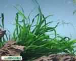 Javafarn – eine pflegeleichte Aquarienpflanze